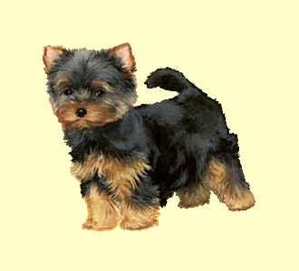 Take in a yorkshire terrier breed dog