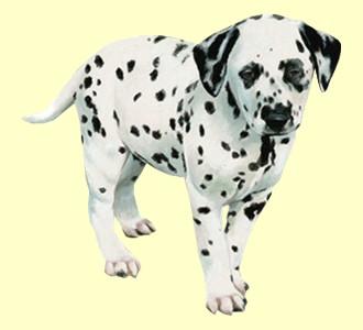 Take in a dalmatian breed dog