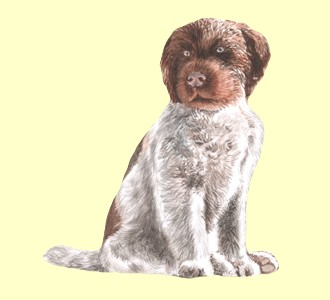 Wirehaired Pointing Griffon ##STADE## - coat 52