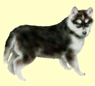 Take in a siberian husky breed dog