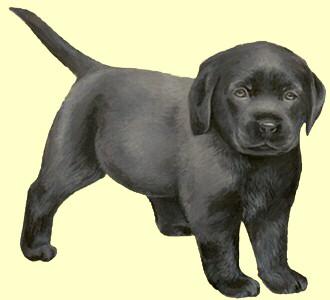 Labrador Retriever ##STADE## - coat 51