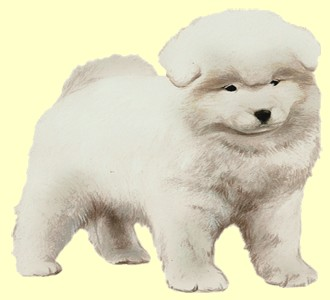 Take in a samoyed breed dog